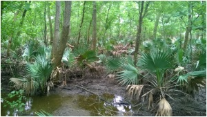 Palmetto Swamp Forest