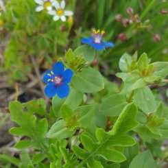 Blue Pimpernel Noel Lampazzi