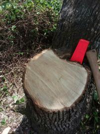 Cut stump Sylas Walker