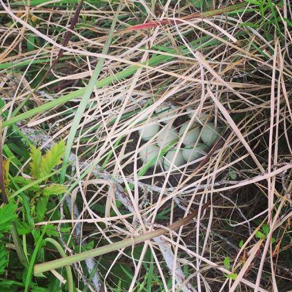 Duck Nest Cheylynne Tyrrell