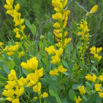 Yellow Lupine Noel Lampazzi